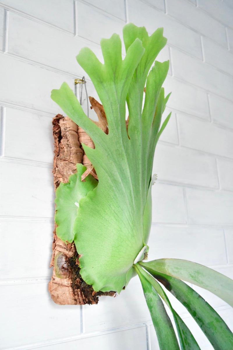 P.willinckii high shield form ウィリンキー ビカクシダ コウモリラン 【vandaka 】コルクバーグ 子株付き_画像2