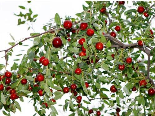 ひと粒、ひと粒、選び抜いた乾燥ナツメ(大紅棗)果実 上品な超大粒棗・ナツメ なつめ ドライフルーツ高品質な紅棗400g(約53~55粒)_画像10
