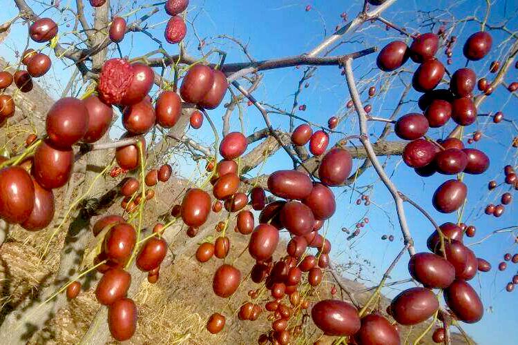 乾燥ナツメ(大紅棗)果実 木の実 上品な棗 中国黄河地域産超大粒棗・ナツメ なつめ ドライフルーツ高品質な紅棗400g(約53~55粒)_画像9