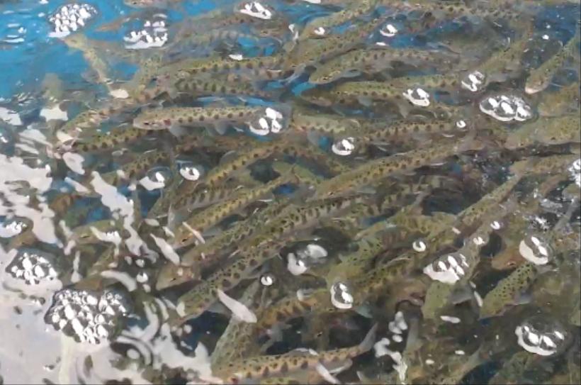 『ヤフオクで応援』限定◆黄金のイクラ ◆山女魚★希少★やまめ★業務用1kg☆国産のキャビア_画像はイメージです。
