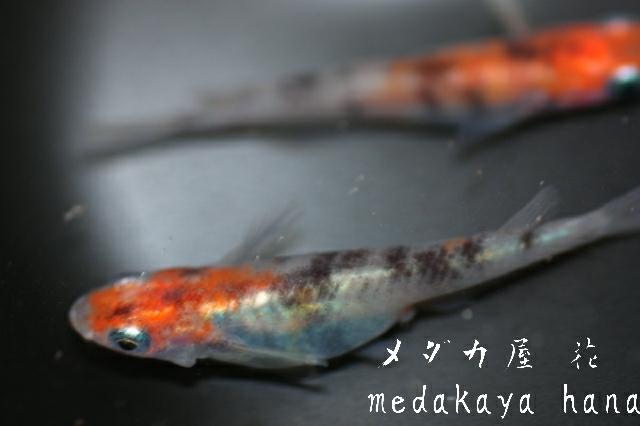 【メダカ屋 花】雲州三色から生まれたSサイズ10匹+@ 5