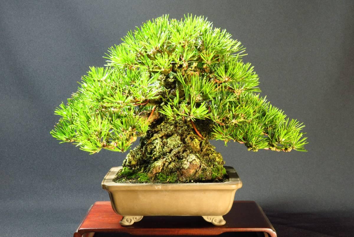圧巻の太幹 【黒松】 小品盆栽 樹高22㎝ 即戦力の逸品!