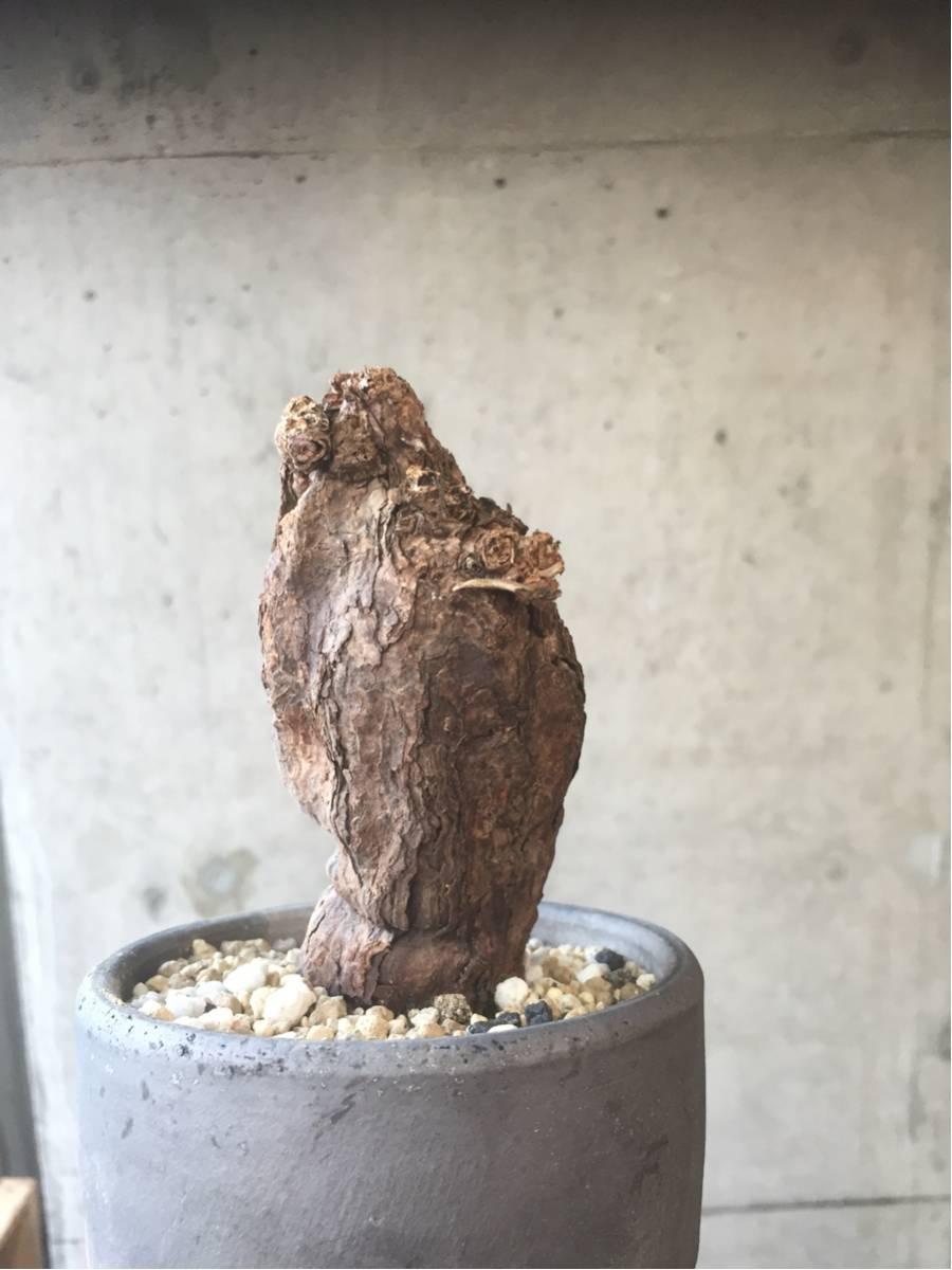ペラルゴニウム トリステ