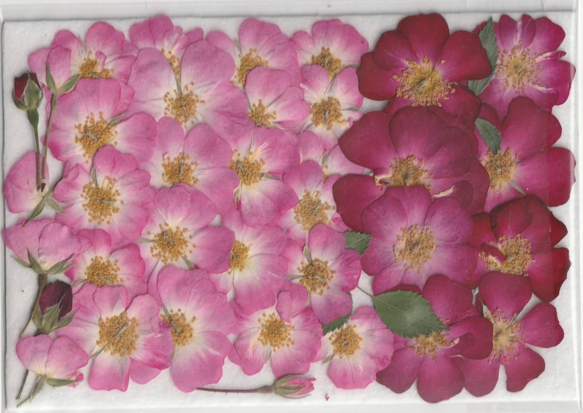 押し花素材 [  ミニバラ  36輪  ]  つぼみを含む