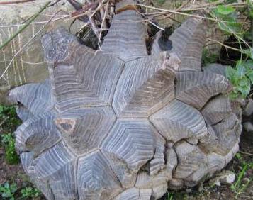 アフリカ亀甲竜 種子100粒_画像1