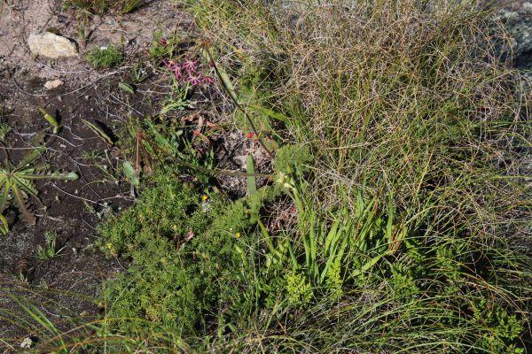 Pelargonium triste ペラルゴニウム トリステ 種子 10粒