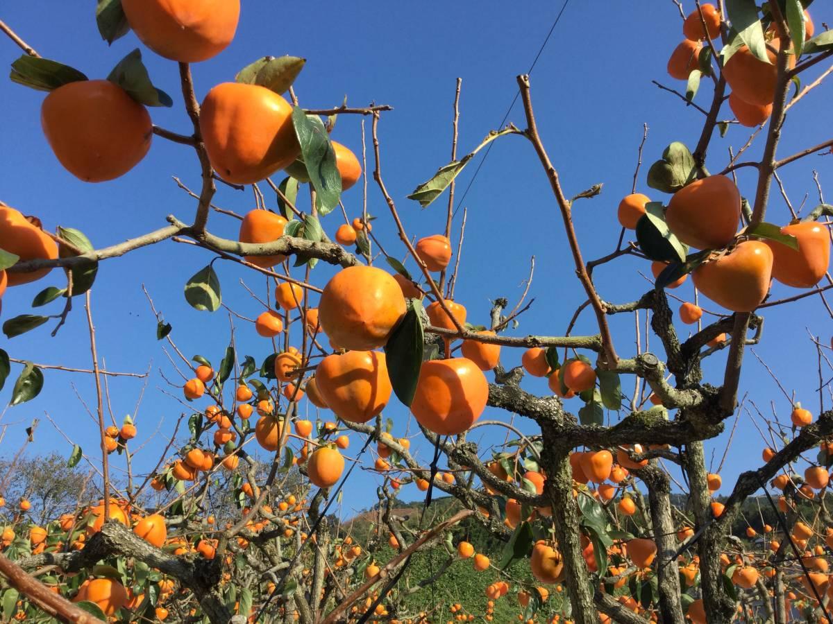 柿の王様 八幡浜名産・富士柿 5kg 柿のマンゴー!_画像7