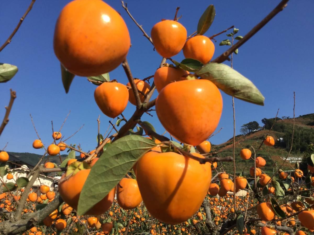 柿の王様 八幡浜名産・富士柿 5kg 柿のマンゴー!_画像3