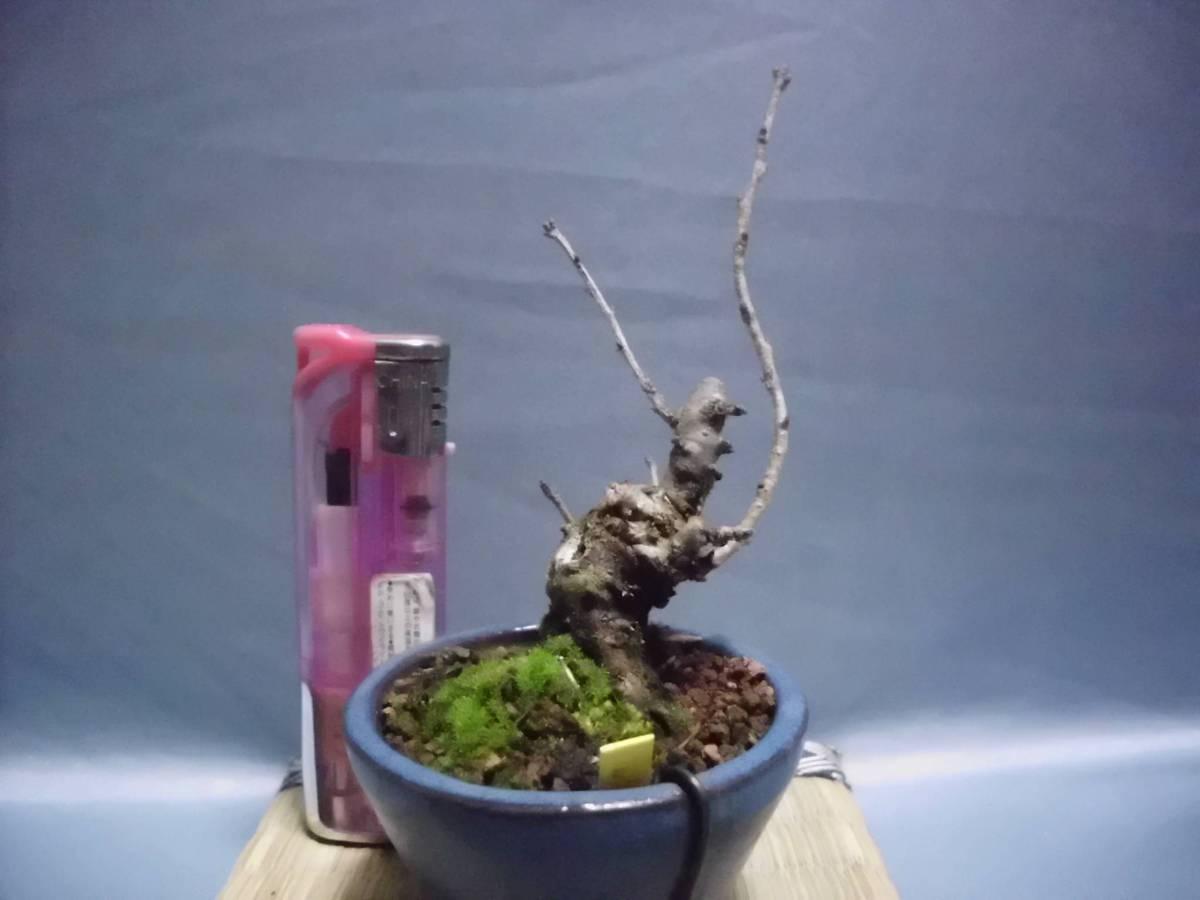 豆助ミニ盆栽 八房富士桜