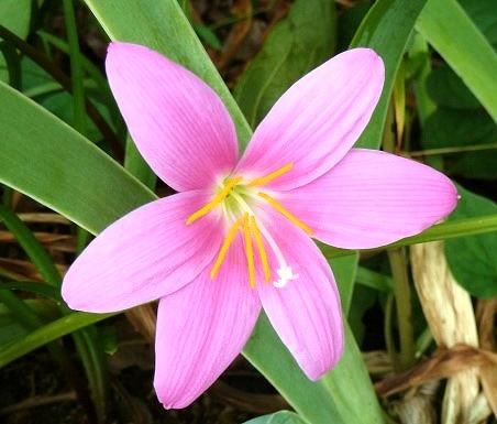 ゼフィランサス サフランモドキ (カリナタ) ピンク花 10.5cmポット 苗 10ポットセット_画像1