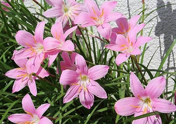 ゼフィランサス サフランモドキ (カリナタ) ピンク花 10.5cmポット 苗 10ポットセット_画像5
