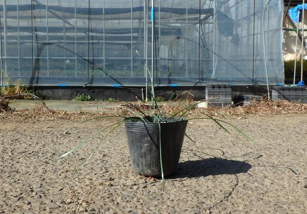 ゼフィランサス サフランモドキ (カリナタ) ピンク花 10.5cmポット 苗 10ポットセット_画像2