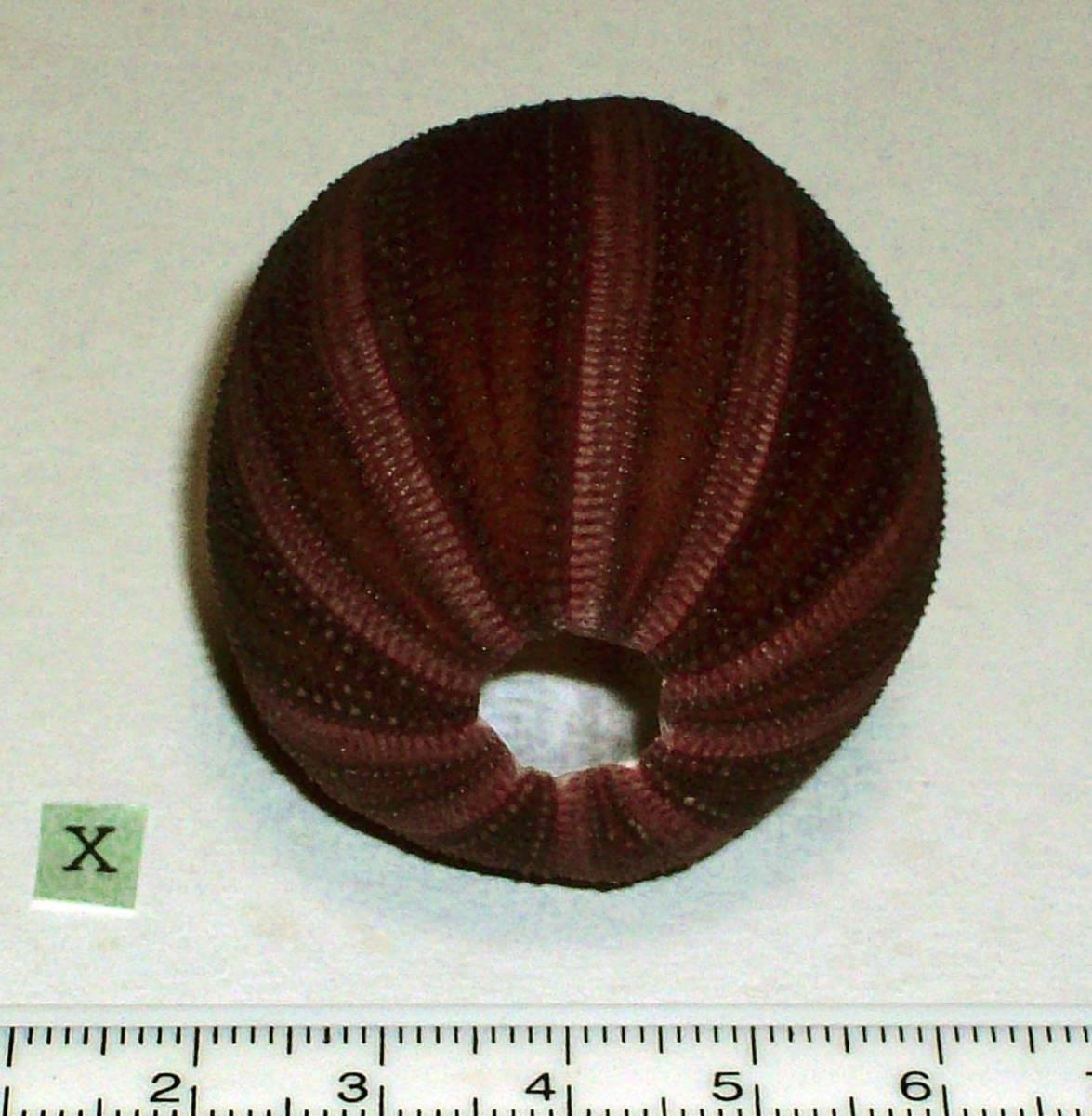 ☆☆☆ X ウニの殻 ウニ殻 高さ4.5cm位 オーストラリア 検 インテリア 骨格標本 カシパン 貝殻 貝_画像3