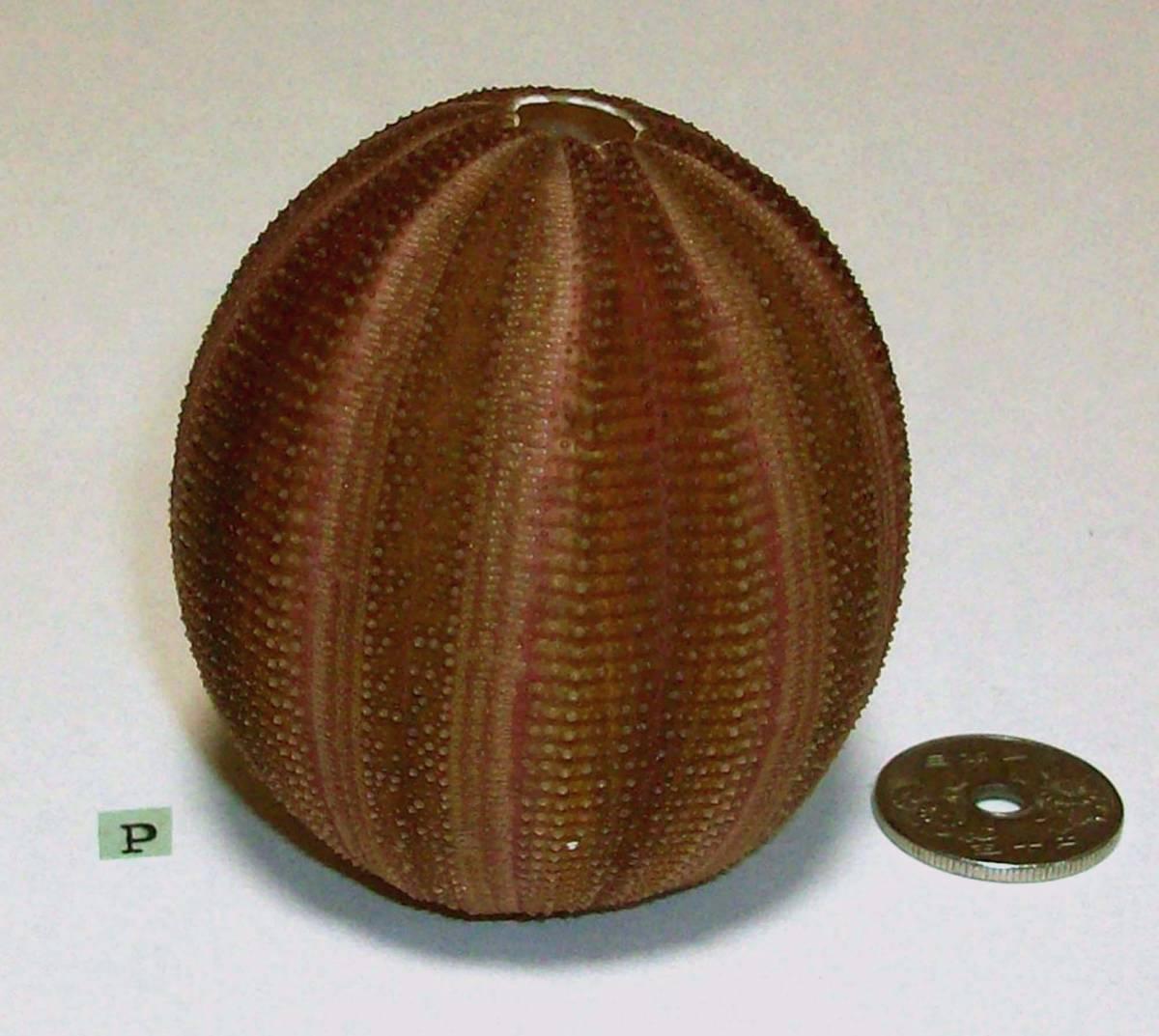 ☆☆☆ P ウニの殻 ウニ殻 高さ6.1cm位 オーストラリア 検 インテリア 骨格標本 カシパン 貝殻 貝_画像2