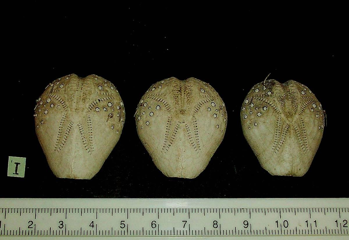 ☆☆☆ I ヒラタブンブク ブンブク 3個 サイズ 3.9~3.6cm位 検 クラフト インテリア 骨格標本 ウニ 貝_画像1