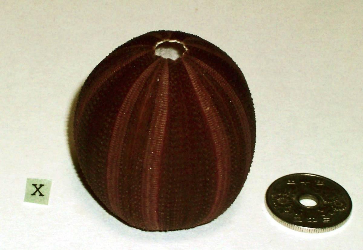☆☆☆ X ウニの殻 ウニ殻 高さ4.5cm位 オーストラリア 検 インテリア 骨格標本 カシパン 貝殻 貝_画像2