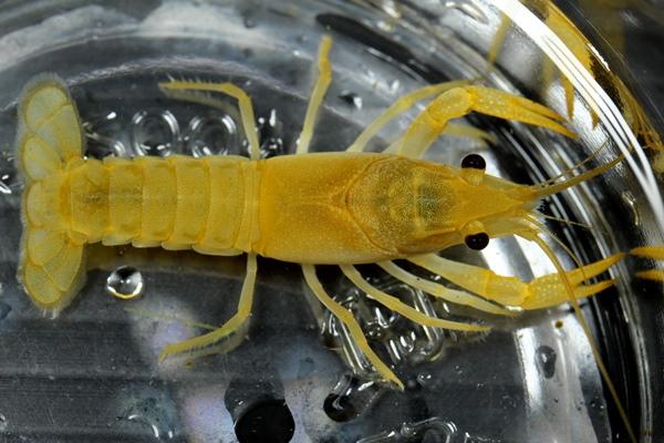 【REDFAIRY】 F4個体 ☆Golden King ☆ Procambarus clarkii ゴールデンキング  メ
