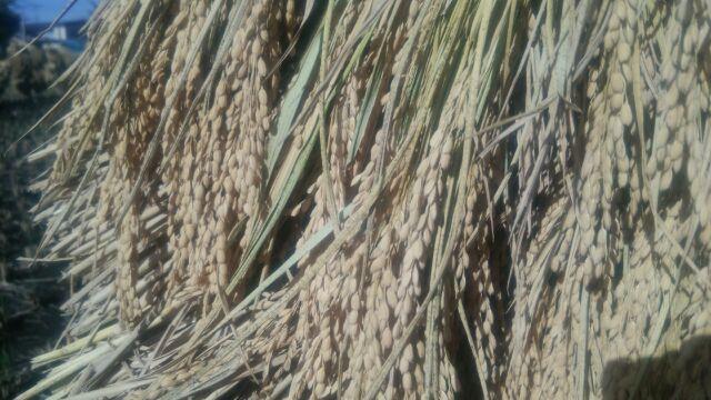 農家直送☆令和2年産☆自然乾燥米秋田県産あきたこまち 白米300g×5_立派な稲に実りました!