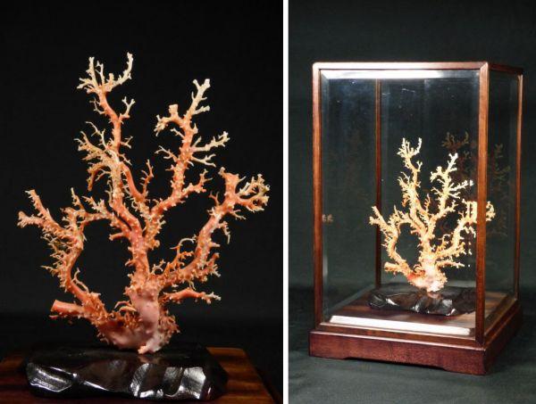 本珊瑚 枝珊瑚 本物保証 ケース付/魔除 唐物 中国 高知県