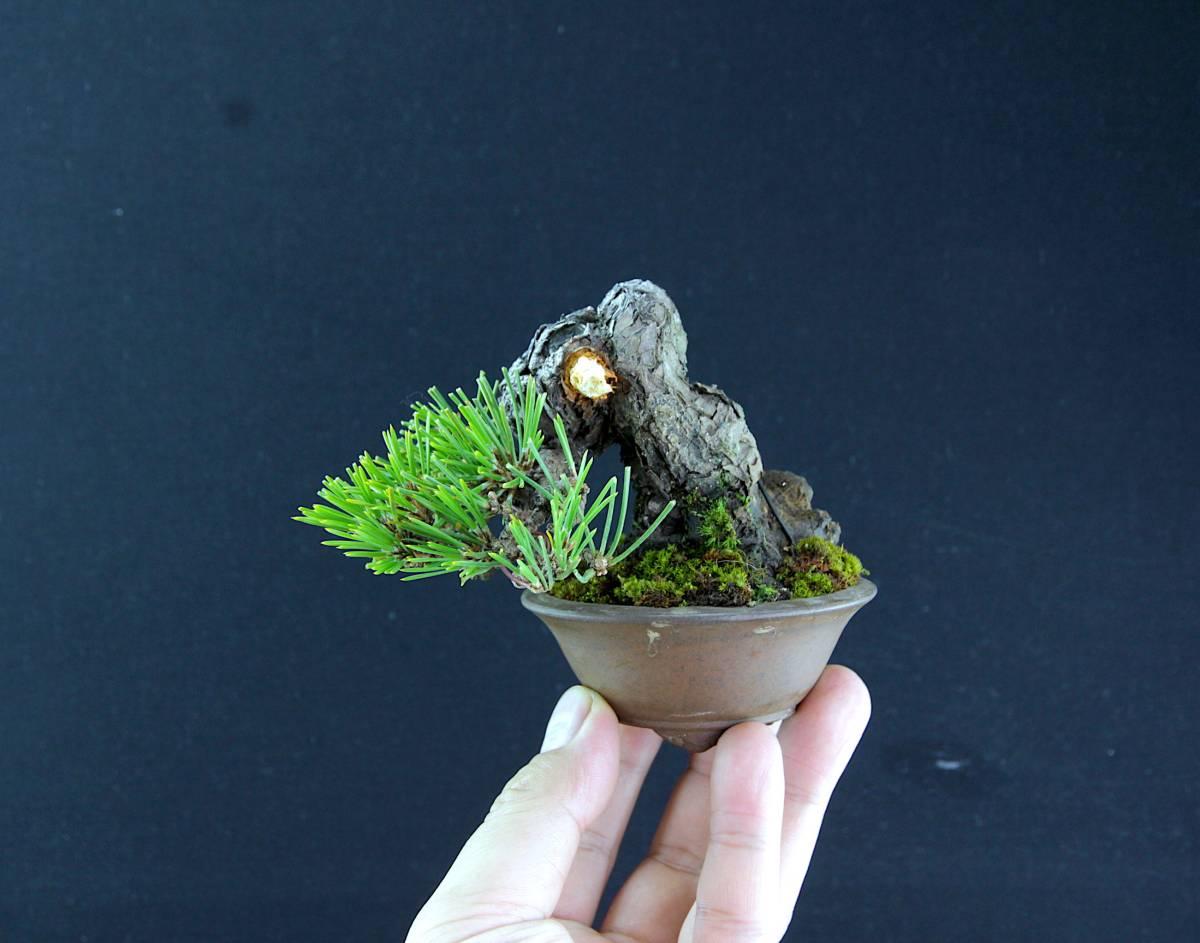 極太 半懸崖 三河黒松 ミニ盆栽 樹高7cm程度 足元幅5cm以上