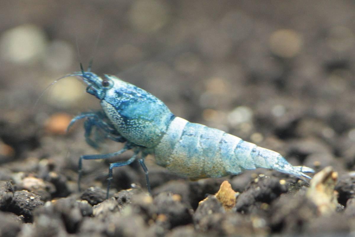 メス抱卵個体2
