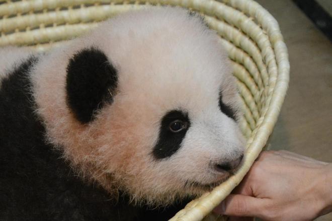 赤ちゃんパンダ シャンシャンL判写真12枚