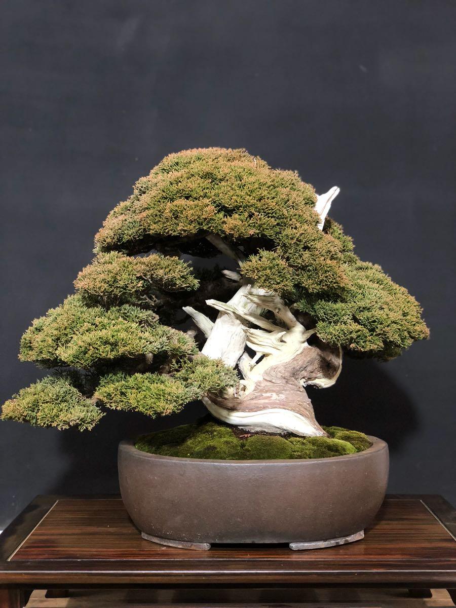 【盆巧】 真柏 中品盆栽 極太幹