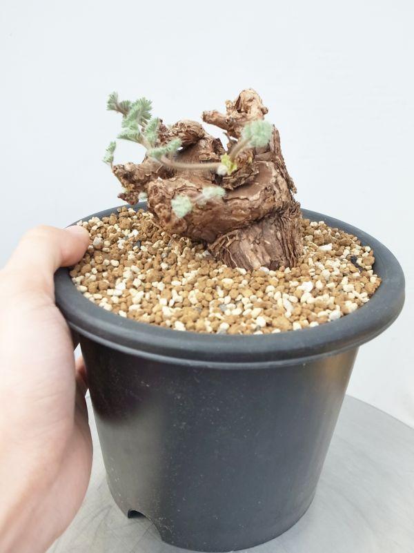 ペラルゴニウム トリステ Pelargonium triste □□@木浴□□