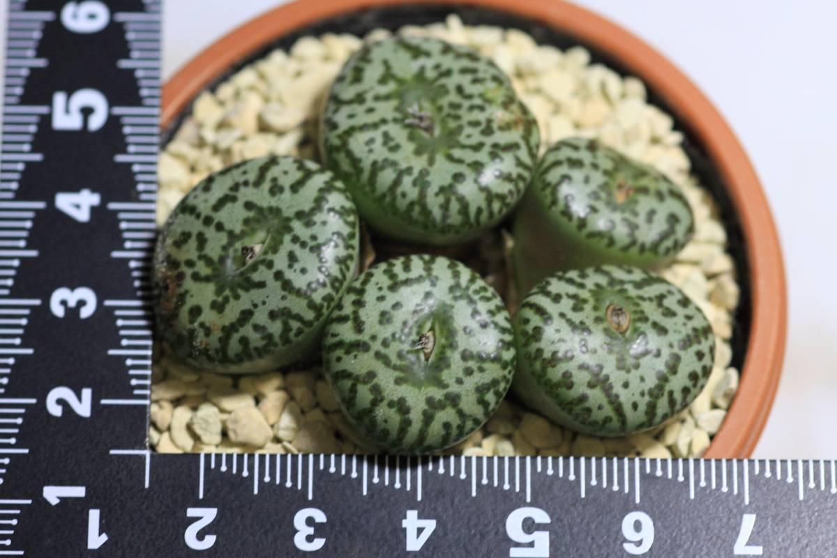 多肉植物 コノフィツム ウルスプルンギアナム(江隈) Conophytum  ursprungianum 大球5頭_画像2