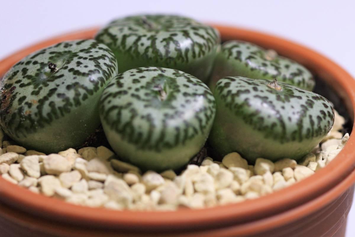 多肉植物 コノフィツム ウルスプルンギアナム(江隈) Conophytum  ursprungianum 大球5頭_画像4
