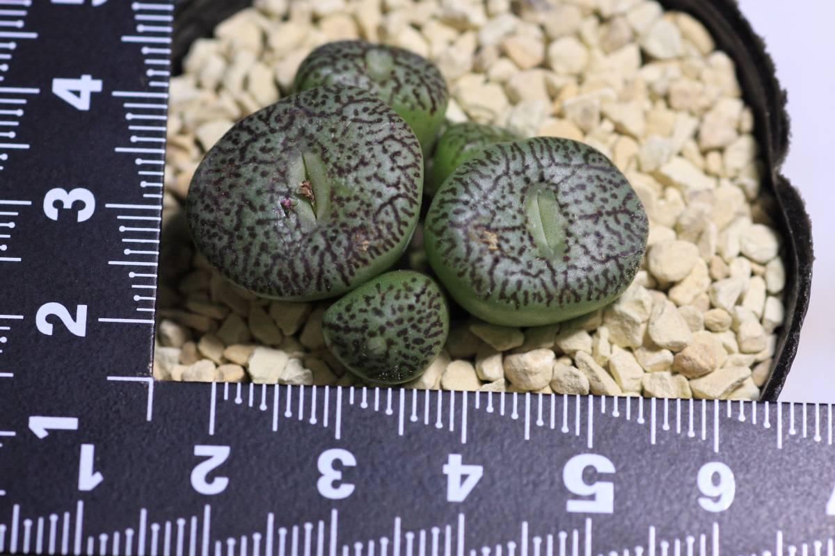 多肉植物 コノフィツム ウイッテベルゲンセ(E型)  Conophytum  wittebergense(type E)_画像2