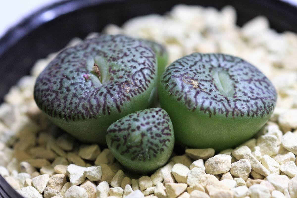 多肉植物 コノフィツム ウイッテベルゲンセ(E型)  Conophytum  wittebergense(type E)_画像4