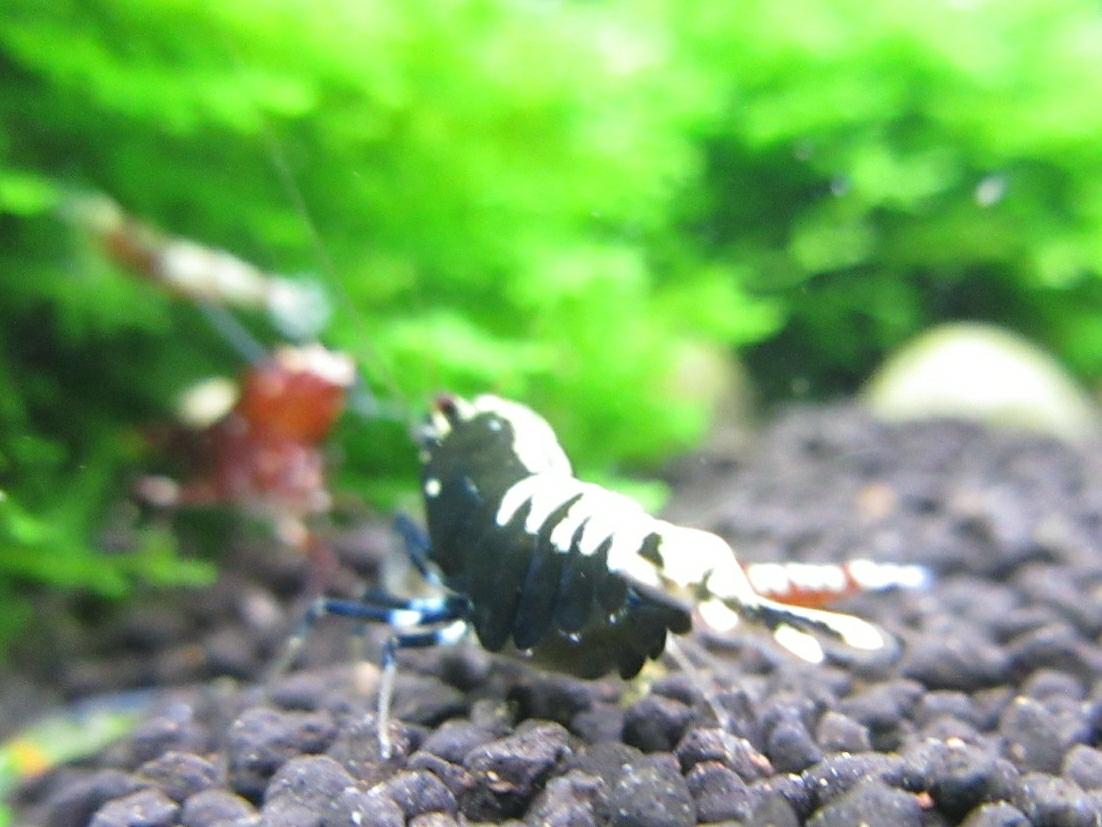 〈音姫えび〉☆ZEUSshrimp☆ミルキーヴァティクル♀抱卵 一石二鳥 2月17日(土)発送希望!_画像5