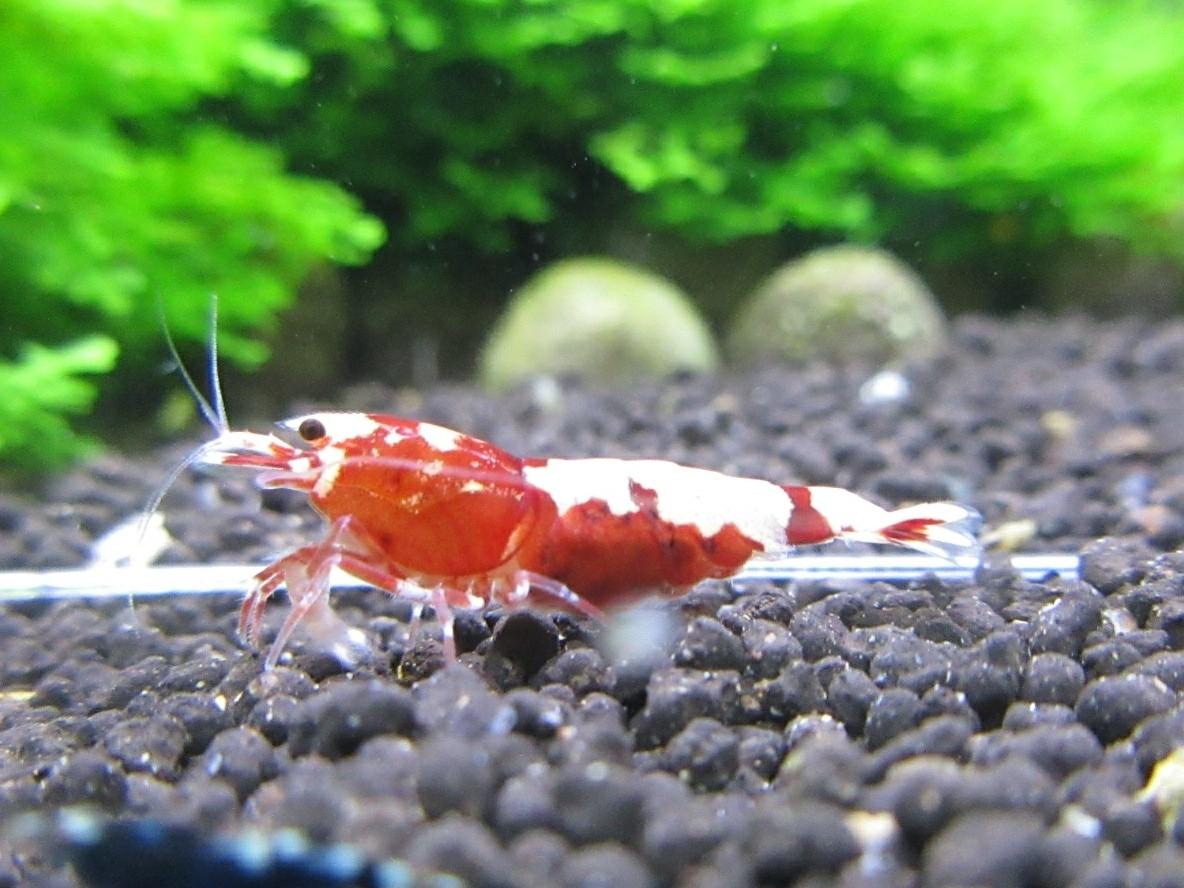 〈音姫えび〉☆ZEUSshrimp☆レッド抱卵♀ 3月2日(金)発送希望!_画像5