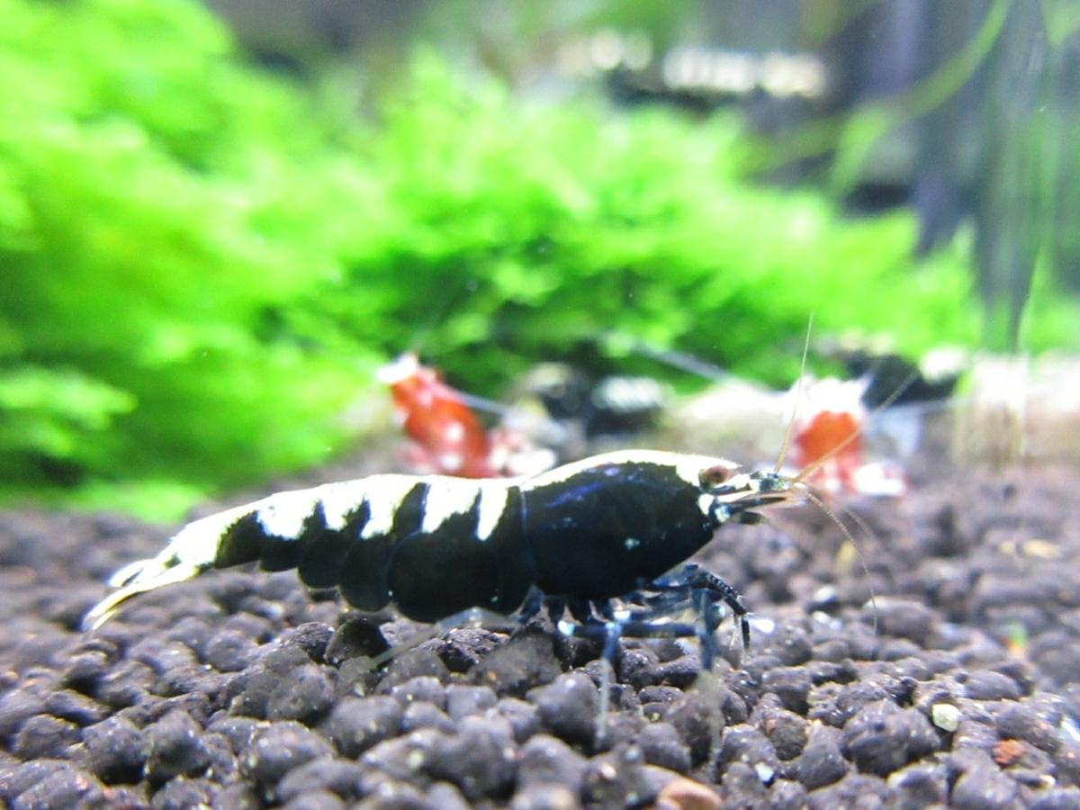 〈音姫えび〉☆ZEUSshrimp☆ミルキーヴァティクル♀抱卵 一石二鳥 2月17日(土)発送希望!_画像7