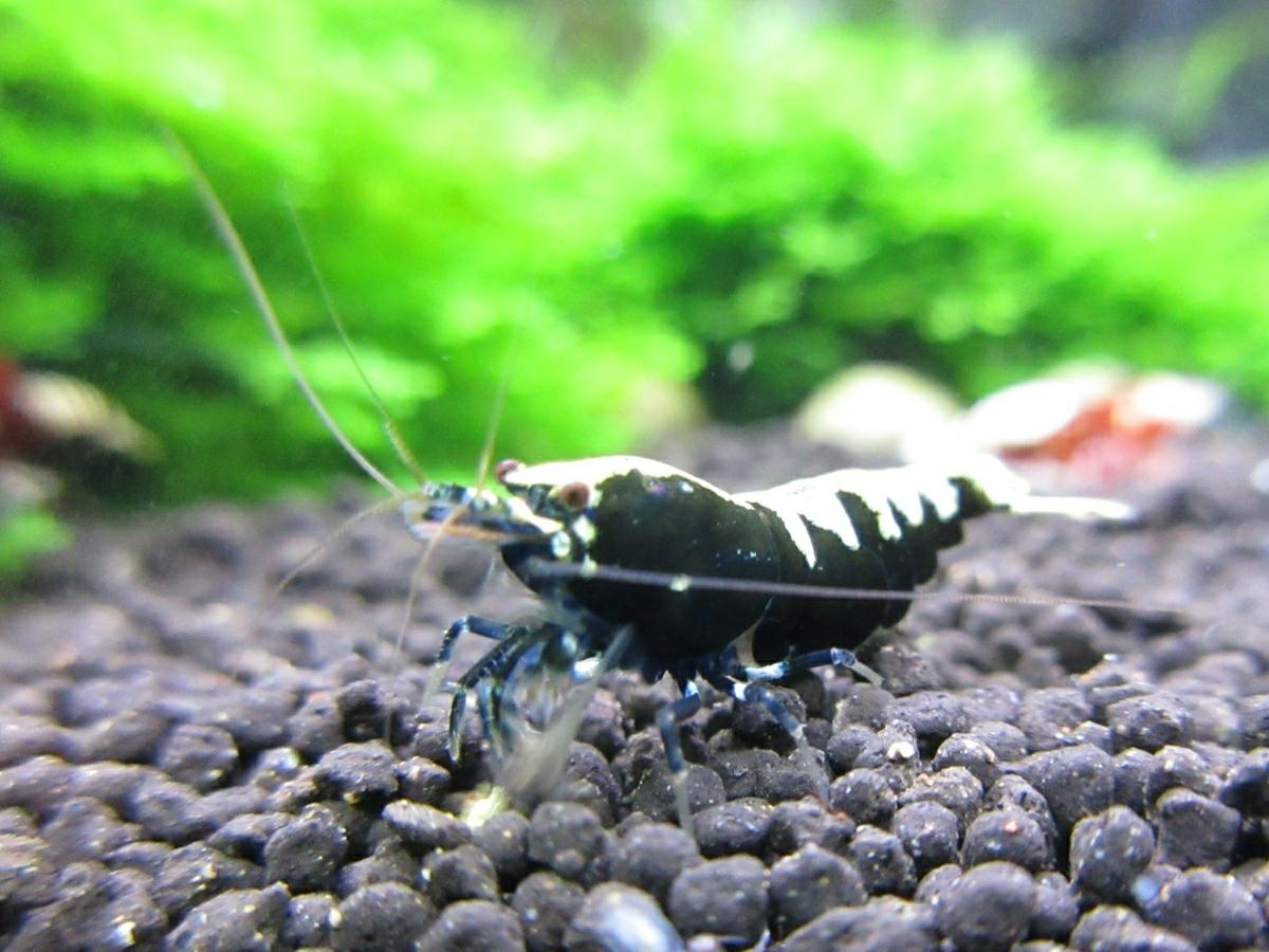 〈音姫えび〉☆ZEUSshrimp☆ミルキーヴァティクル♀抱卵 一石二鳥 2月17日(土)発送希望!