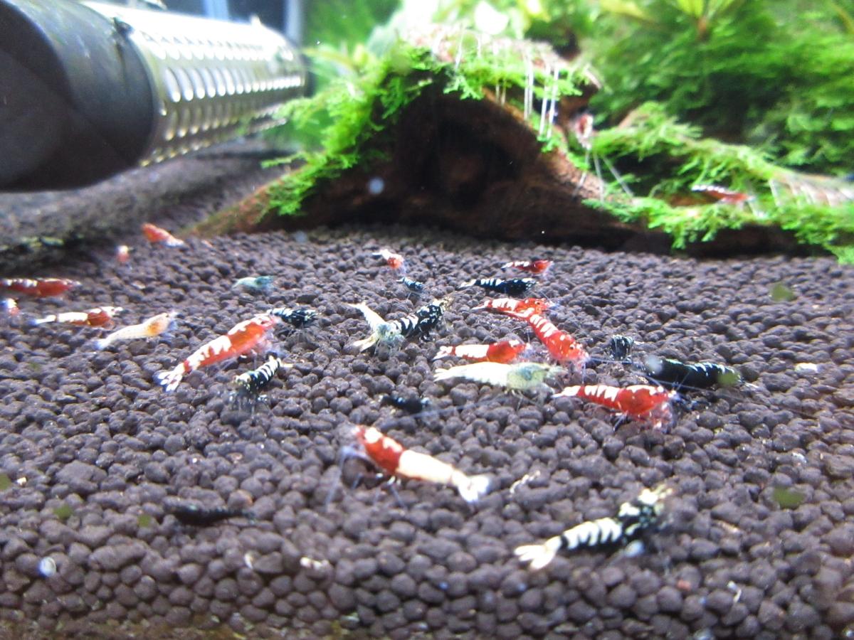 〈音姫えび〉☆ZEUSshrimp☆レッド若個体5匹 3月2日(金)発送希望!_画像10