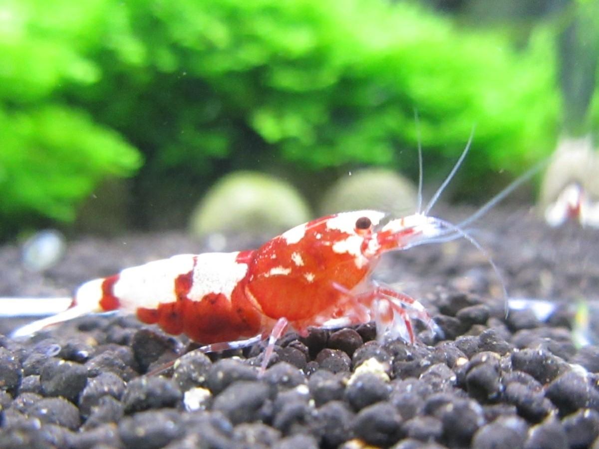 〈音姫えび〉☆ZEUSshrimp☆レッド抱卵♀ 3月2日(金)発送希望!