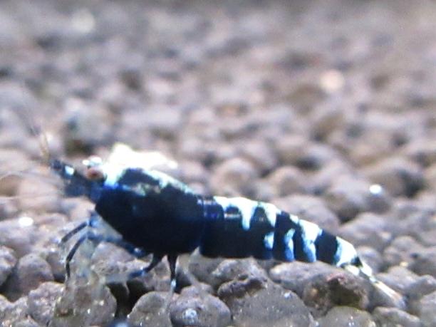 〈音姫えび〉☆ZEUSshrimp☆レッド系統若個体5匹 3月2日(金)発送希望!_画像6
