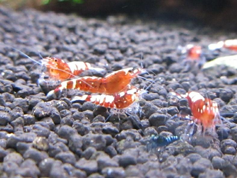 〈音姫えび〉☆ZEUSshrimp☆レッド若個体5匹 3月2日(金)発送希望!