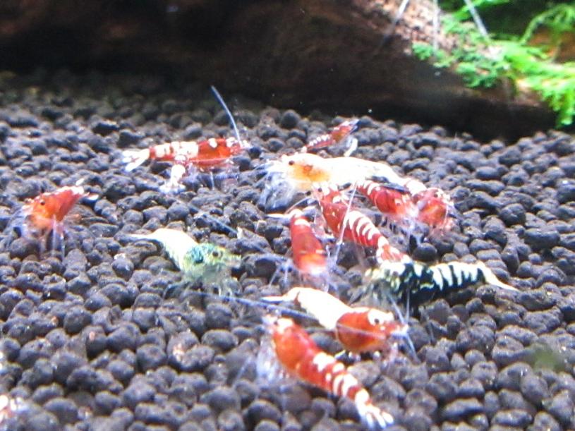 〈音姫えび〉☆ZEUSshrimp☆レッド若個体5匹 3月2日(金)発送希望!_画像7