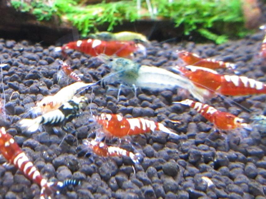 〈音姫えび〉☆ZEUSshrimp☆レッド系統若個体5匹 3月2日(金)発送希望!_画像4