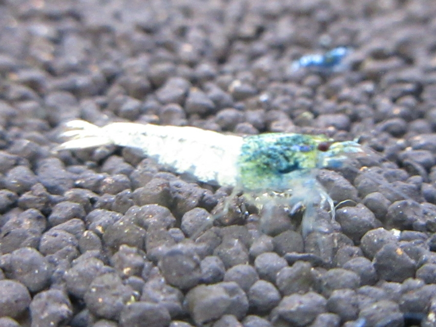 〈音姫えび〉☆ZEUSshrimp☆レッド系統若個体5匹 3月2日(金)発送希望!_画像5