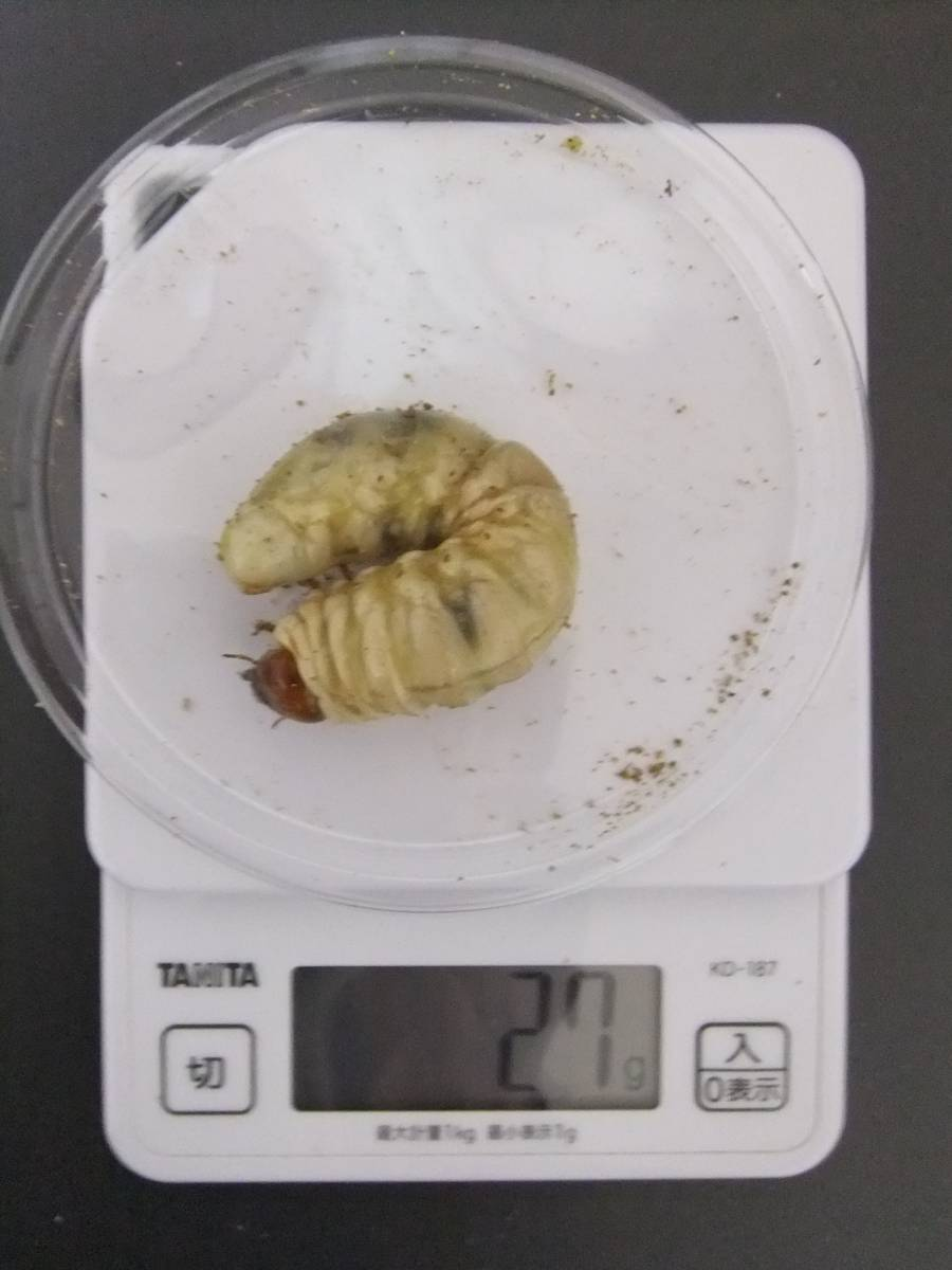 久留米 オオクワガタ 3令幼虫③ ♂3匹[27g、26g(83.5×54.2)、26g(83.5×53.7)]