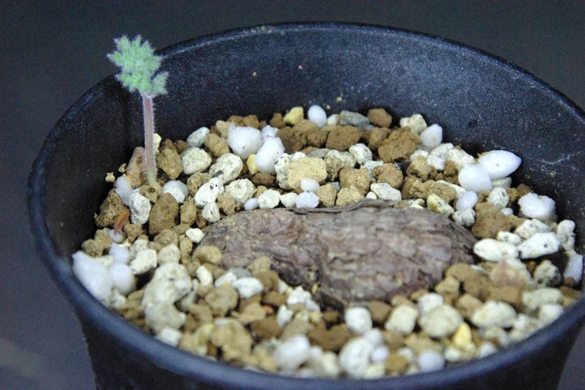 1円~ ペラルゴニウム トリステ Pelargonium triste