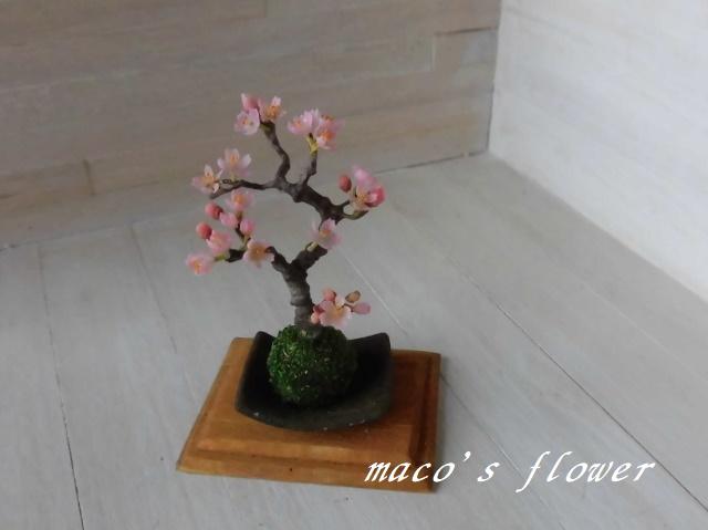 maco's flower♪桜盆栽の苔玉仕立て♪