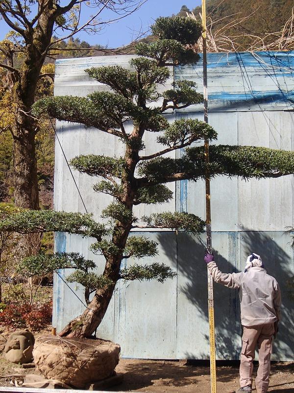 大阪植木イヌマキH3.8mW3.5m限定1本クサマキ槇_画像4