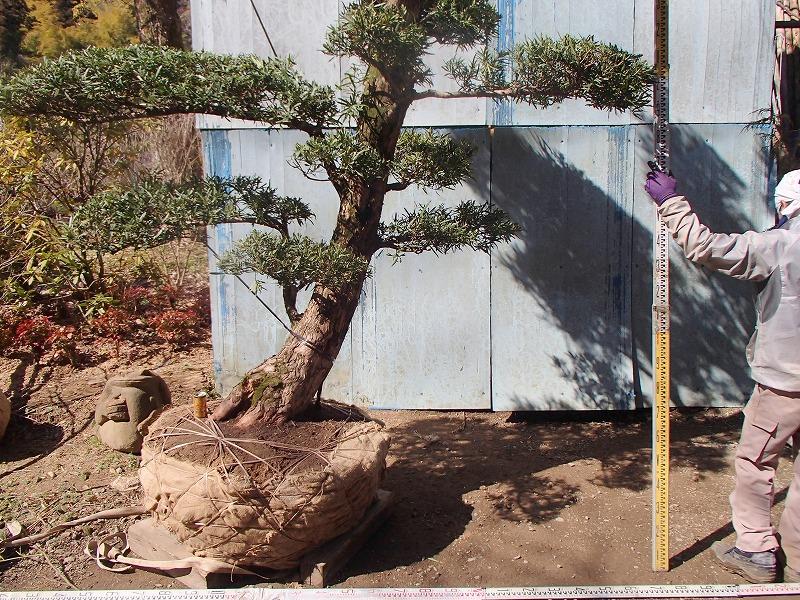 大阪植木イヌマキH3.8mW3.5m限定1本クサマキ槇_画像6