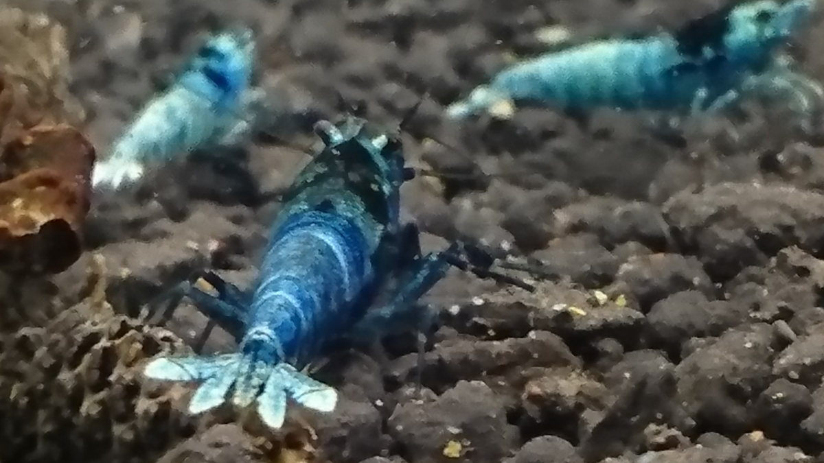 濃青☆ブルーモスラ雌♀個体◇おまけに幼えび2匹☆合計3匹の出品になります◇ゆきえび◇_画像5