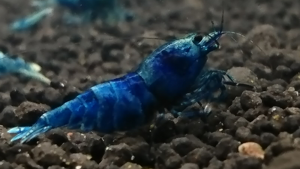 鮮やかな青☆ブルーターコイズ抱卵個体◇おまけに幼えび2匹☆合計3匹の出品になります◇ゆきえび◇